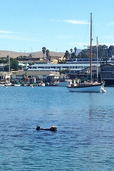 PLAYFUL OTTER:  The seals and sea otters in Morro Bay are pretty unfazed by the presence of humans. One especially cute otter followed us most of our way back to shore. - PHOTO BY PETER JOHNSON