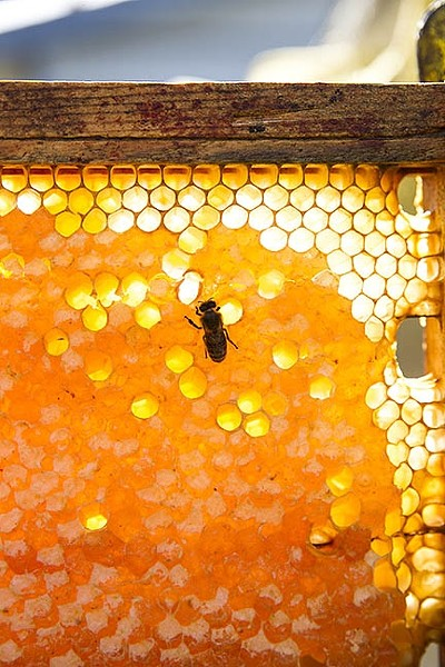 THE QUEEN'S CURE:  Propolis isn't just a bee's fix-all potion for keeping the hive healthy: propolis oil is an ancient anti-wrinkle cream on steroids that doubles as a stellar burn remedy. - PHOTO BY JAYSON MELLOM