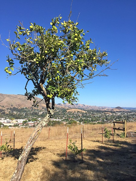 LEMON GROVE LOOP The Lemon Grove Loop on Cerro San Luis Mountain wouldn't be complete without real live citrus trees like this one. - PHOTO BY PETER JOHNSON
