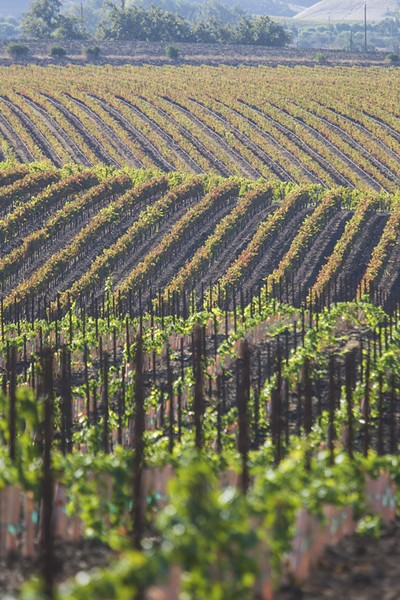 CARING FOR ACREAGE Niven Family Wine Estates vineyards benefit from the cool climate in the Edna Valley. - PHOTO BY JAYSON MELLOM