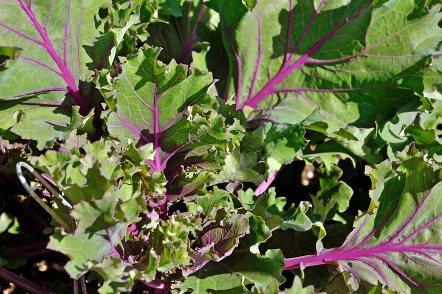 WINTER VEG Kale is leafed out and almost ready to be harvested in the UC Cooperative Extension's demonstration garden in San Luis Obispo. - PHOTOS BY CAMILLIA LANHAM