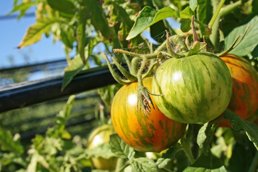 ORGANIC GOODNESS Organic heirloom tomatoes are among the 12 acres of veggies, apples, and stone fruit grown on Bill Spencer's Windrose Farm, east of Paso Robles. - FILE PHOTO BY HAYLEY THOMAS CAIN