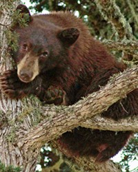 'THE BEARS' A black bear (pictured) is discovered hiding in a tree in residential Los Osos last October. Similar black bear encounters are increasingly common at Lopez Lake's campground, raising concerns.
