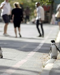 OUT FOR A STROLL In Penguin Town on Netflix, narrator Patton Oswald explains how endangered African penguins invade a South African beach town every year to find a mate.