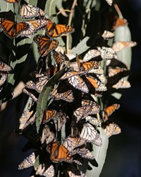 TIGHT-KNIT COLONY:  The dense clusters of butterflies, each insect hanging its wing over the one below in a shingle effect, provides shelter and warmth for the group.