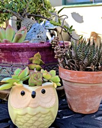 GROWING SENTIMENT Succulents are low-cost, low-maintenance plants that double as decor and a wonderful favor to send guests home with. These are a few I have brought home from weddings.
