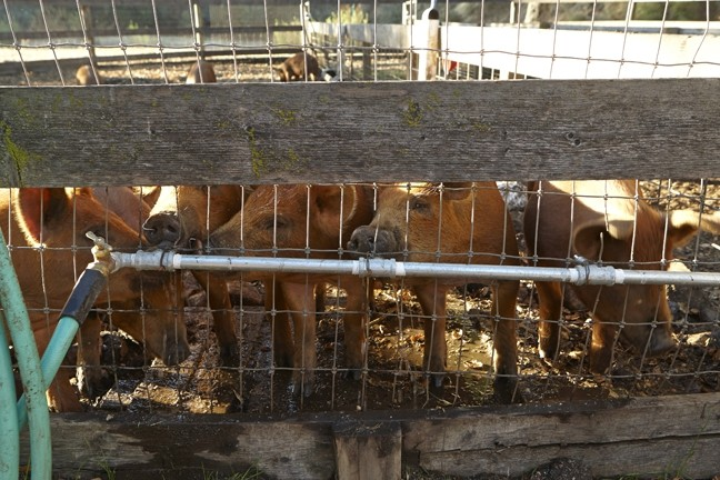 2: :  The young pigs on the ranch are a mix of Berkshire/Hampshire and Duroc; the combination of breeds produces the best meat, because the pigs are massive and fast growing but the quality of the meat is high.