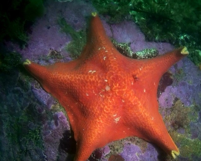 BAT STAR: - PHOTO COURTESY OF TERRY LILLEY OF UNDERWATER2WEB.COM