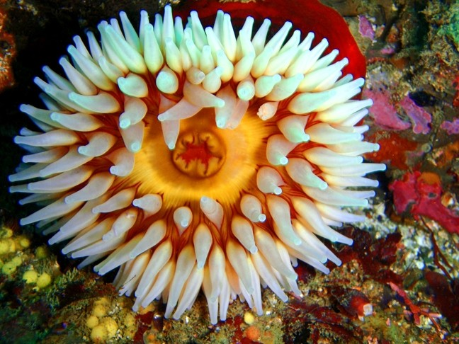 FISH-EATING SEA ANEMONE: - PHOTO COURTESY OF TERRY LILLEY OF UNDERWATER2WEB.COM
