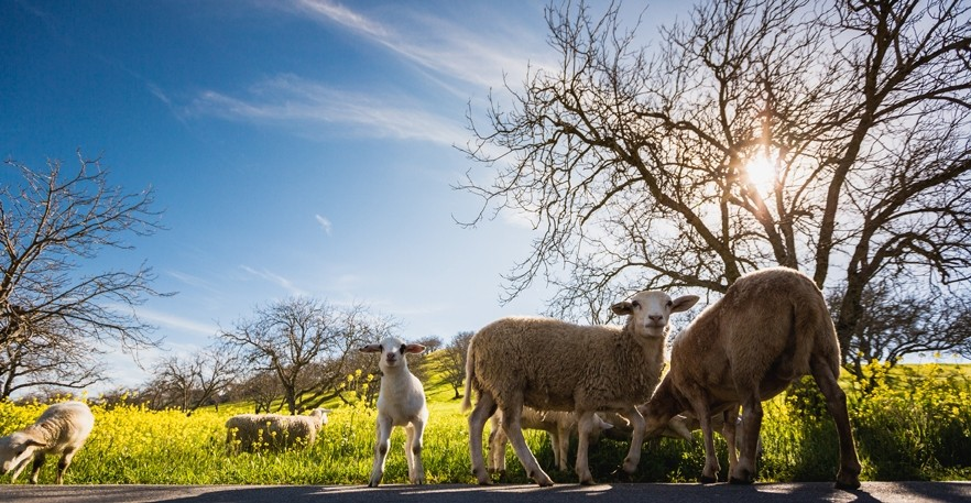 COUNTING SHEEP:  A flock of Dorper sheep helps with weed abatement while delighting wine tasters at Adelaida Cellars in Paso Robles. - PHOTO BY KAORI FUNAHASHI