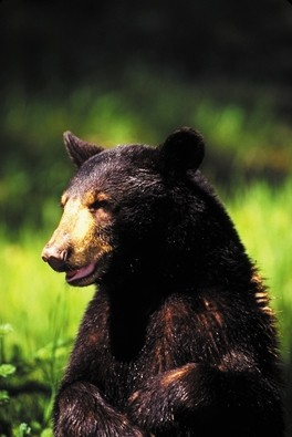 SAFE AND SOUND :  Local black bears are safe from hunting—for now. - FILE PHOTO