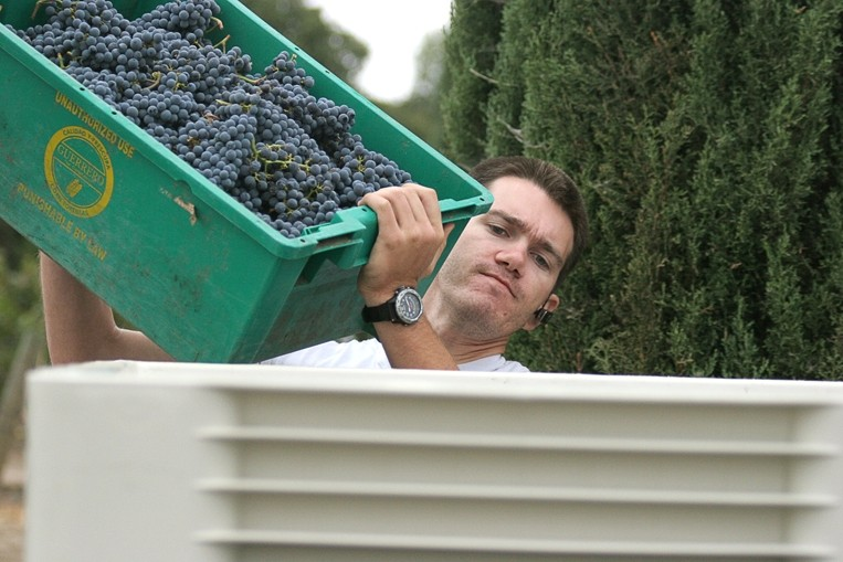 GOOD TO GO :  First Crush apprentice winemaker Chris Kuntz of Manteca empties fruit into a half-ton bin. - PHOTO COURTESY FIRST CRUSH
