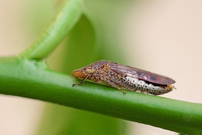 PACKING A PUNCH:  The glassy-winged sharpshooter is a vector for the bacterium that causes Pierce's disease, which can be harmful to vineyards. - PHOTO COURTESY OF CALIFORNIA DEPARTMENT OF FOOD AND AGRICULTURE