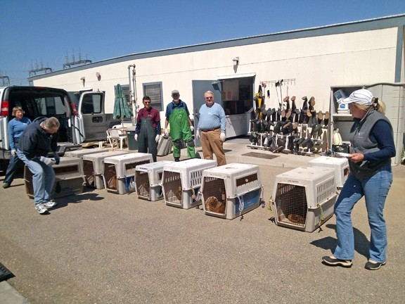 HELP ALL OVER :  Sea lions from Southern California hospitals were moved north to Marine Mammal Center facilities that had more room. Some animals on the move recently stopped at the San Luis Obispo triage facility (pictured).