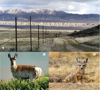 IN NEED OF FRIENDS :  (Clockwise from top): The Carizzo Plain National Monument features vast views, endangered kit foxes, and reintroduced pronghorn antelope. - PHOTOS BY FRIENDS OF CARRIZO PLAINS