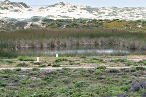 FULL OF LIFE :  The wetlands at Guadalupe dunes are due for expansion as part of an ecological restoration project, providing more homes for rare animals and plants. - PHOTO BY CHRISTOPHER GARDNER