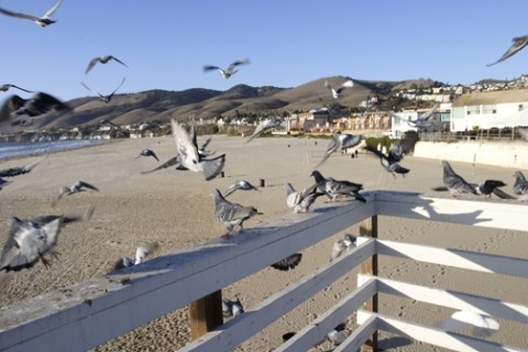 BIRD'S EYE VIEW :  The Pismo Beach City Council decided that abundant pigeons at the pier would not be trapped and fed to carnivores, but would instead be relocated. - PHOTO BY STEVE E. MILLER