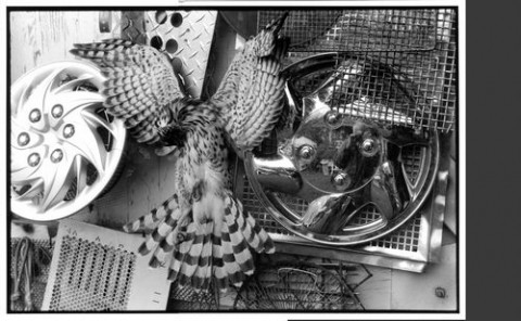 """COOPER'S HAWK� SECOND PLACE ANIMALS - BW: - NICK KOPP"