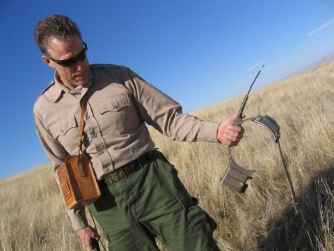 COLLARING THE DATA :  Fish and Game wildlife biologist Bob Stafford retrieves a radio collar worn by a SLO County tule elk, with its black box loaded with information about nearly two years of elk movements. - PHOTO BY KATHY JOHNSTON