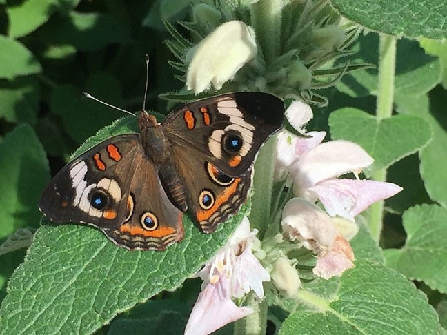 ALL EYES ON YOU :  A common buckeye (junonia coenia). - PHOTO BY TREVER DIAS