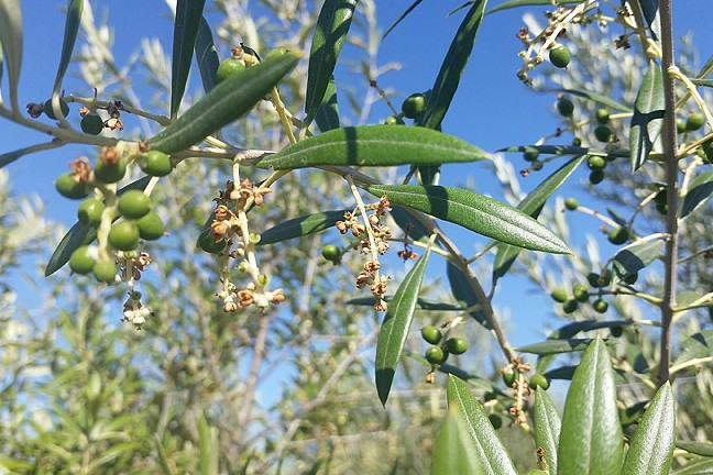 BEST BUDS:  Templeton-based olive farm The Groves on 41 is currently in the happy throes of bud break. - PHOTO COURTESY OF THE GROVES ON 41