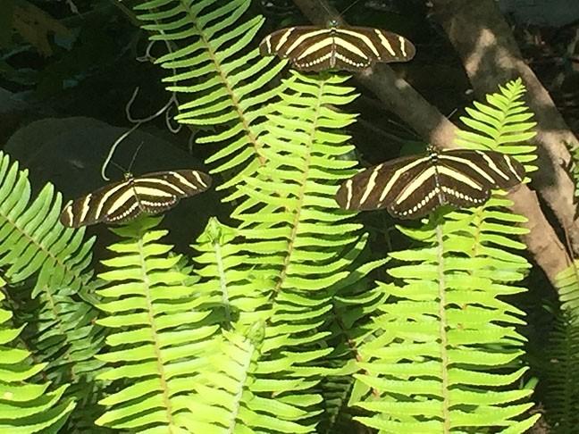 IN THREES :  Three zebra longwings (heliconius charitonia). - PHOTO BY TREVER DIAS