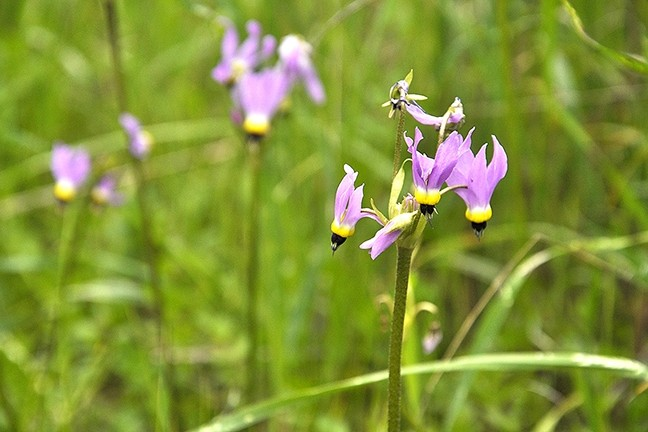 """PURPLE POWER:  Shooting stars scream, """"Spring is almost here!"""" in patches of white, pink, and purple along the Adobe Trail, which heads into Los Padres National Forest from Highway 166. - PHOTO BY CAMILLIA LANHAM"""