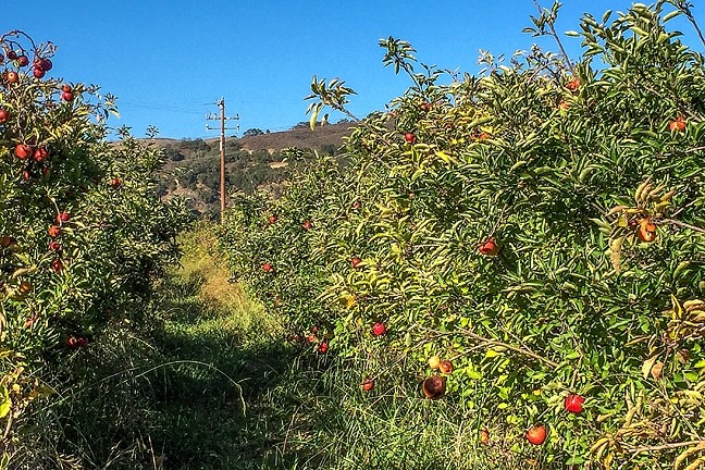 APPLE AISLE:  An orchard at SLO Creek Farms is one of the freshest produce aisles you can find. - PHOTO BY TREVER DIAS