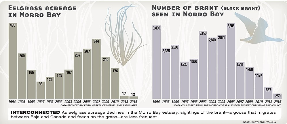 INTERCONNECTED:  As eelgrass acreage declines in the Morro Bay estuary, sightings of the brant—a goose that migrates between Baja and Canada and feeds on the grass—are less frequent. - GRAPHIC BY LENI LITONJUA
