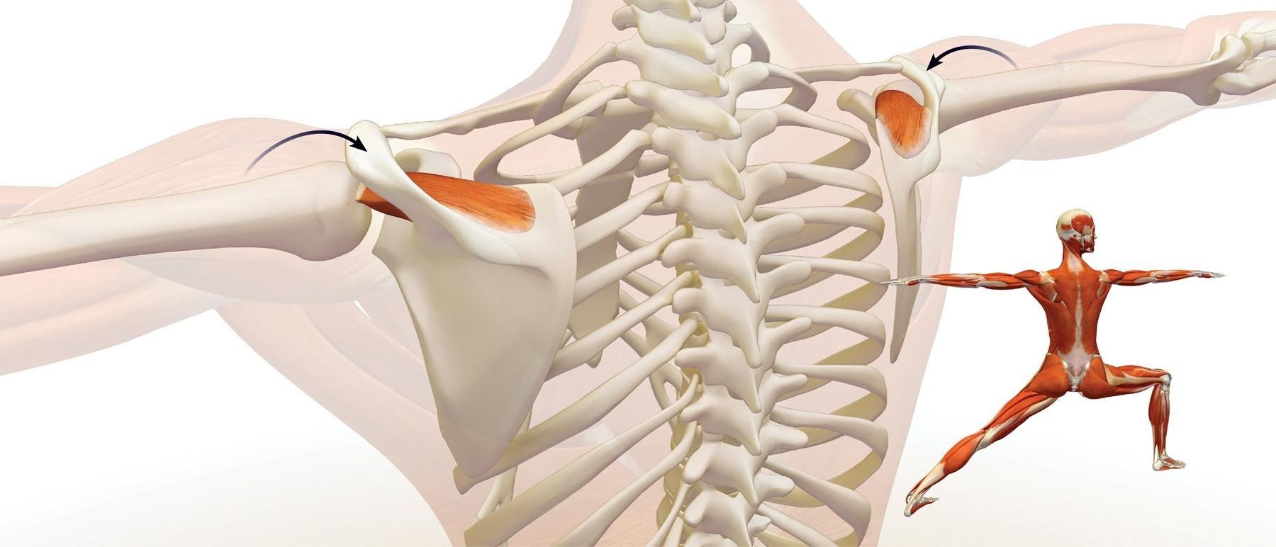 Berühmt Yoga Anatomie Leslie Kaminoff Zeitgenössisch - Physiologie ...