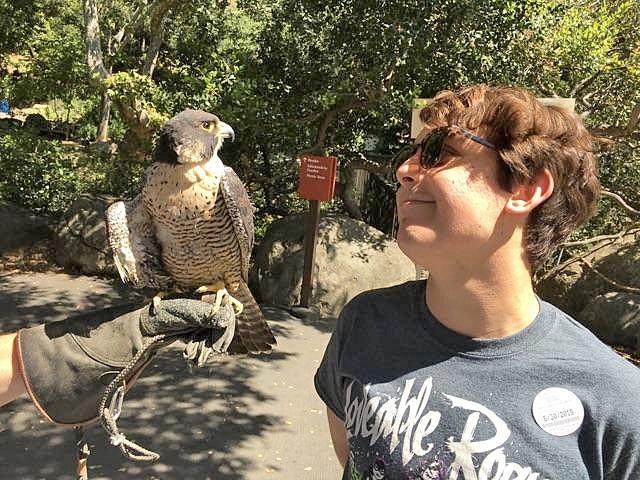 BIRD IS THE WORD The Santa Barbara Audubon Society adopted Kisa, a peregrine falcon, from South Bay Wildlife Rehab in 2011. - PHOTOS COURTESY OF CHRIS LAMBERT