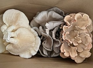 Mighty Cap Mushrooms grows in Paso Robles