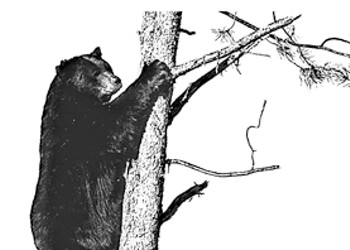 Let bears roam  in SLO county