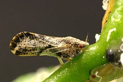 LITTLE BUG, BIG PROBLEMS:  Citrus trees and agriculturalists alike feared the arrival of the Asian citrus psyllid, known for carrying a citrus-destroying disease, when the little buggers turned up in Arroyo Grande. - FILE PHOTO