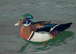 5c6b4237_bobbye_the_wood_duck.jpg