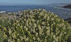 Bush Lupine - Uploaded by Holly Sletteland