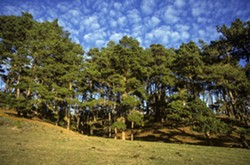 Fiscalini Ranch Preserve Pine Forest - Uploaded by Loree Parral