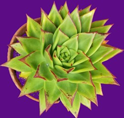 Discover CalCoast Succulents' Pop-up stand with locally-grown plants. - Uploaded by Le Brane