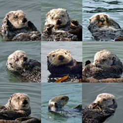 Otter Collage - Uploaded by Rosemary Bauer