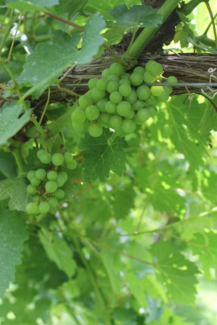 Sauvignon Blanc grapes ripe for picking at Sand Stone Springs Vineyard in Mustang.