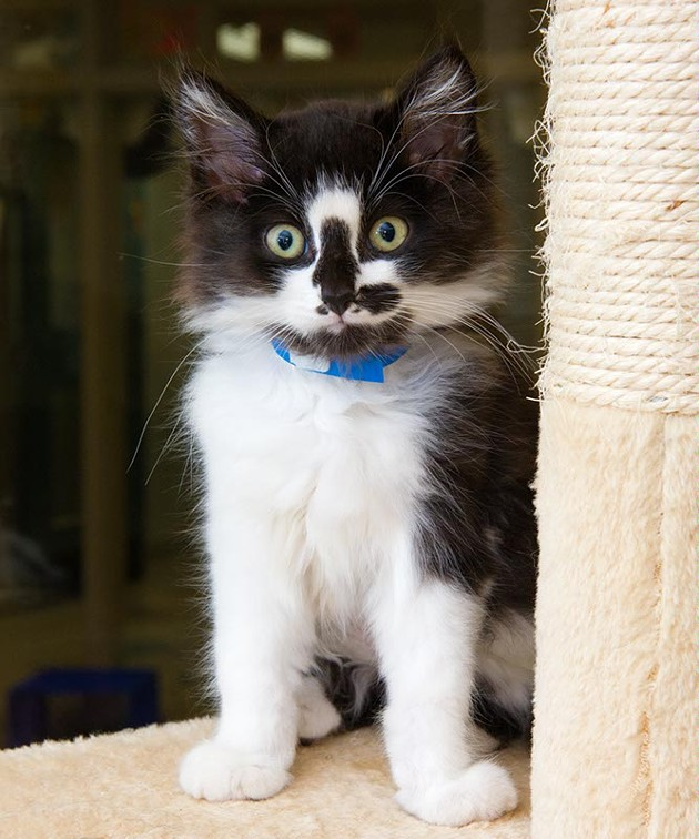 Just one of many kittens available for adoption at The Animal Welfare Facility (Shannon Cornman)