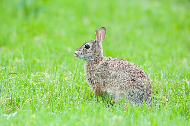 The OKC zoo and The Nature Conservancy are working together to preserve Oklahoma habitats and wildlife, including cottontail rabbits. | Photo Steven Hunter / The Nature Conservancy / provided