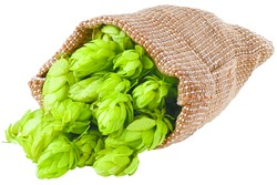 Fresh green hops scattered out of the burlap bag isolated on white background. Hop cones isolated on white. Hop for beer in burlap bag. Sack of fresh hops isolated on a white background. - BIGSTOCK