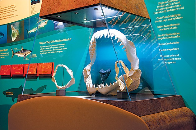 The Megalodon: Largest Shark That Ever Lived exhibit uses the ancient megalodon to bring awareness to the conservation of contemporary shark species. - SAM NOBLE MUSEUM / PROVIDED