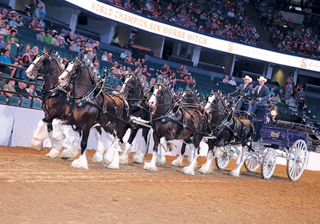 Express Clydesdales perform 150-200 times a year, including marching in the Macy's Thanksgiving Day Parade. - PROVIDED
