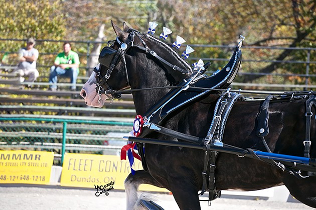Express Clydesdales undergo weight training to stay fit for their busy schedule. - PROVIDED