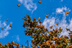 Monarch butterflies migrate from Mexico through Oklahoma to the northern United States and southern Canada twice a year. - BIGSTOCKPHOTO.COM