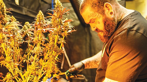 Dustin Mathis trims marijuana plants during a harvest. - MIKE MULCAHY / PROVIDED