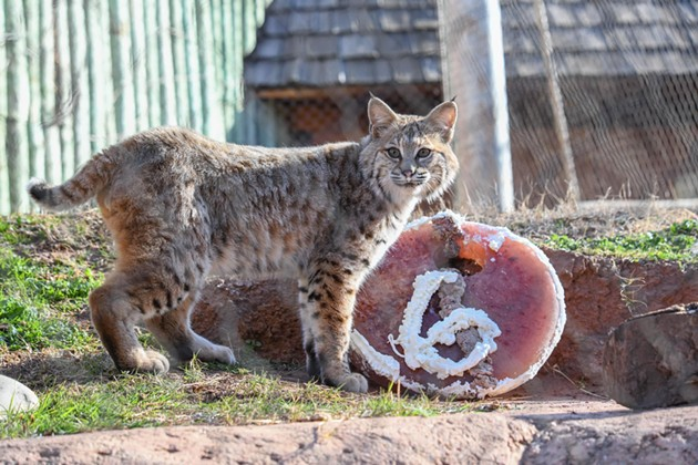 Bobcat Dodger - OKLAHOMA CITY ZOO / PROVIDED