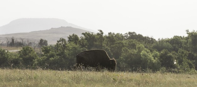 A lone bison grazes in the early morning summer hours at Wichita Mountains Wildlife Refuge.